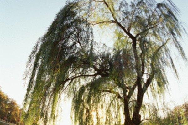 El sauce llorón tiene un sistema de raíces muy poco profundas.