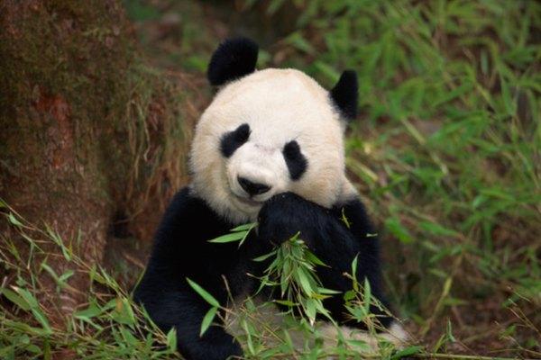 La cantidad de pandas gigantes es menor a 2.500, de acuerdo con la Fundación Vida Silvestre.