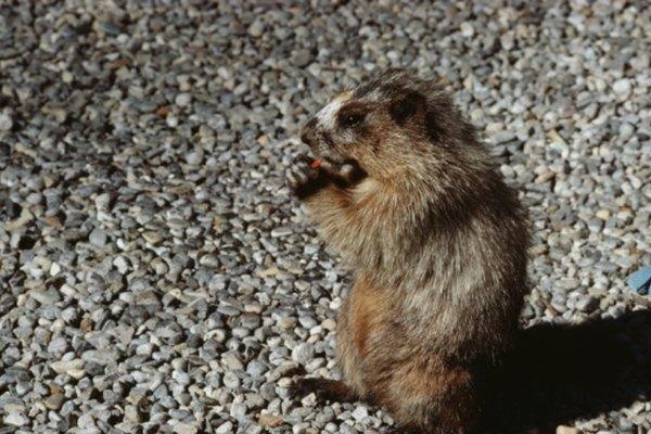 Cargarse de comida antes de la hibernación juega un papel vital para las marmotas.