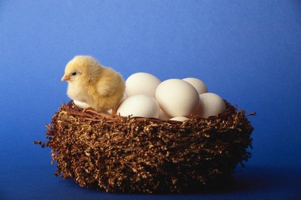 Los huevos con pollitos dentro se pueden identificar con una luz brillante.