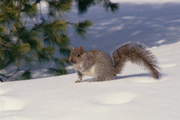 Todas las especies de ardillas viven en zonas boscosas.