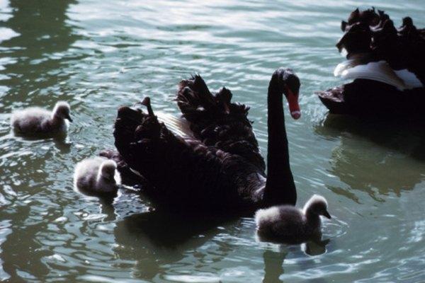 Los cisnes negros son nativos de Australia.