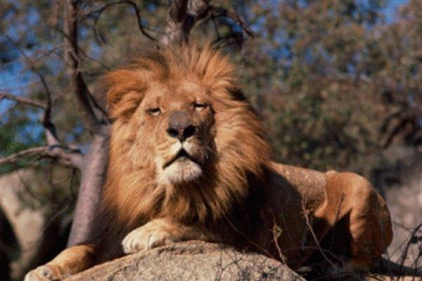 Los leones están bien adaptados para sobrevivir en la naturaleza.