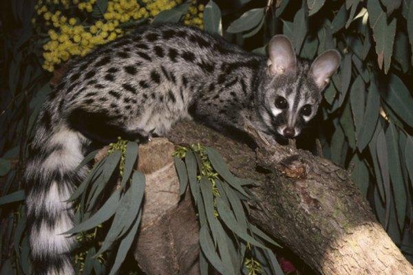 Las jinetas se pueden encontrar en los bosques de Nigeria.
