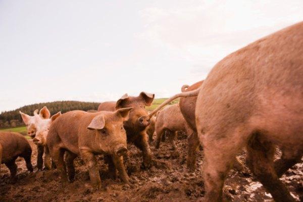 Los judíos consideraban que los cerdos no eran limpios.