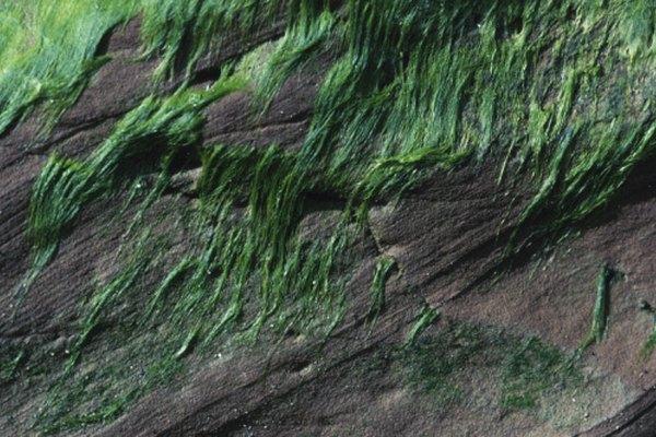 Las algas con una morfología de filamentos parecen que tienen hebras.