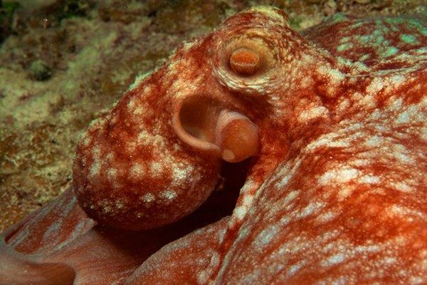 Algunas especies de la familia Octopodidae pueden alcanzar proporciones extremas.
