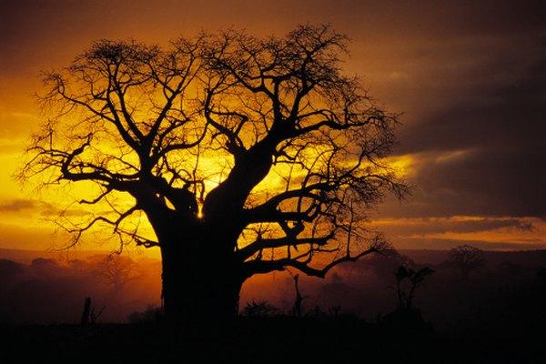 El árbol baobab se encuentra en las sabanas y pastizales africanos.