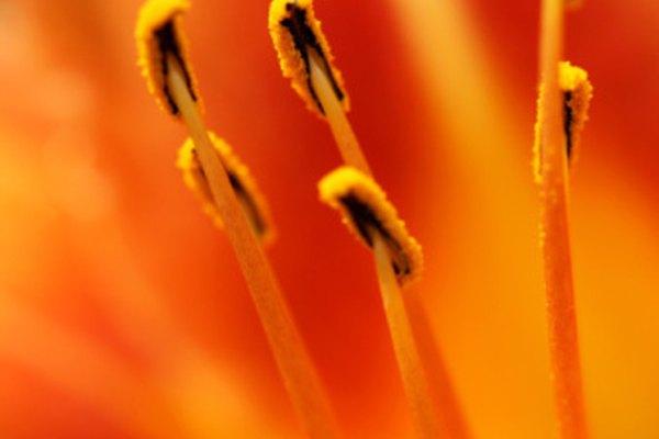 El estambre, la parte masculina de la planta, es la responsable de llevar el polen.