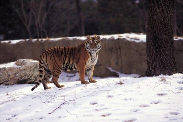 Un domador de leones puede trabajar también con tigres.