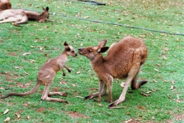 Los canguros rojos crecen en Australia.