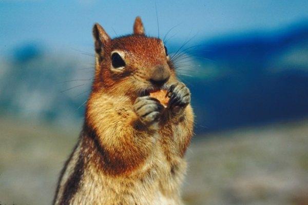 Las ardillas pueden almacenar alimento en sus mejillas para guardarla en los meses de invierno.