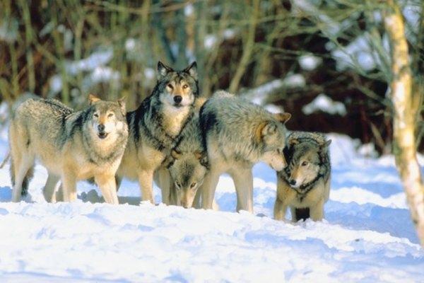 Los lobos tienen un sentido de la vista que responde al movimiento para atrapar a sus presas.