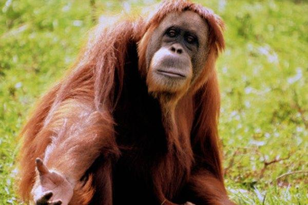 Los humanos y los orangutanes, ambos grandes simios, pueden haber tenido un antepasado común.