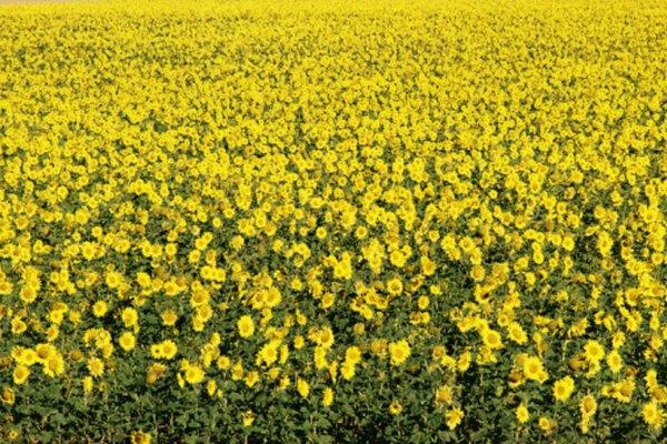 Los girasoles producen de 1000 a 2000 libras (453 a 907 kilógramos) de semilla por hectárea.