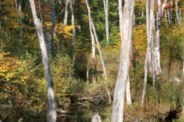 Los pantanos son ambientes húmedos que requieren adaptaciones únicas de las plantas y animales.