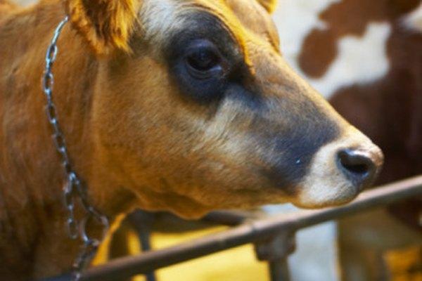 Los ojos humanos y de las vacas tienen algunas similitudes y diferencias.