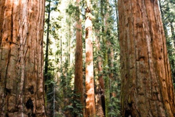 Los árboles sequoia dependen en buena medida de la lignina y la celulosa para su estructura.
