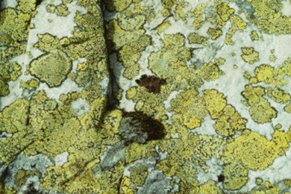 El liquen tiene un crecimiento increíblemente lento, sólo crece unos milímetros de diámetro por año.
