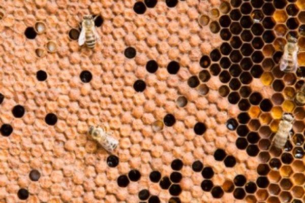 Las células tapadas de los panales están llenas de miel.