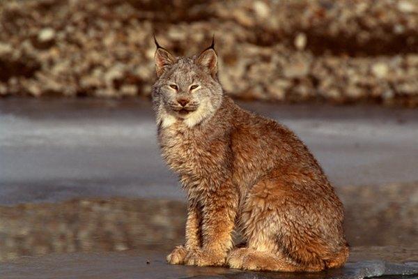Los gatos monteses son más pequeños que las otras tres especies de linces.