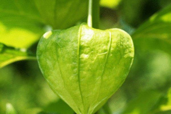 Las hojas tienen una cutícula encerada y estomas.