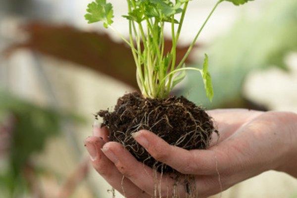 Las raíces proporcionan agua, nutrientes y apoyo.