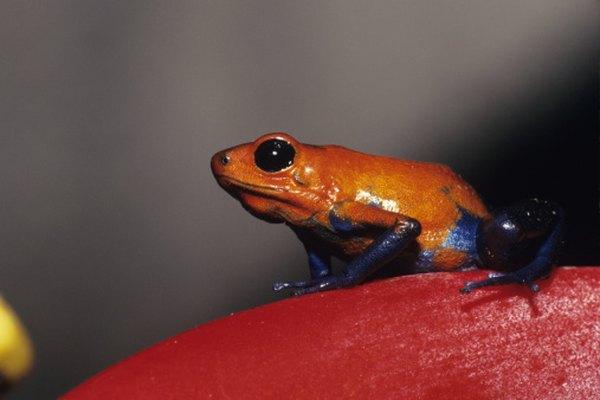 La rana flecha roja y azul fresa está entre las más de 200 especies de ranas flecha roja y azul.