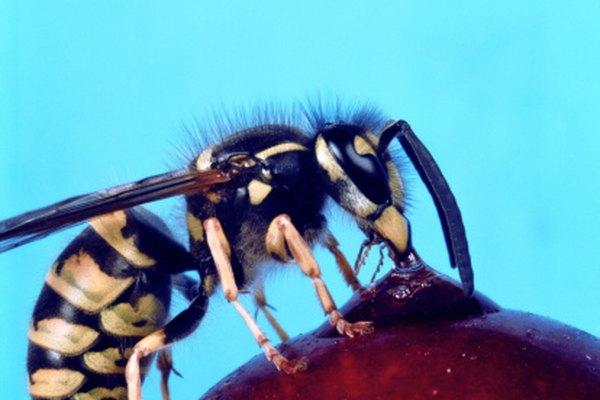 Las avispas pueden usar sus aguijones varias veces, a diferencia de las abejas.