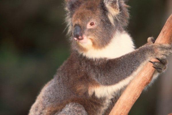 Los koalas tienen características físicas distintas que los hacen uno de los favoritos.