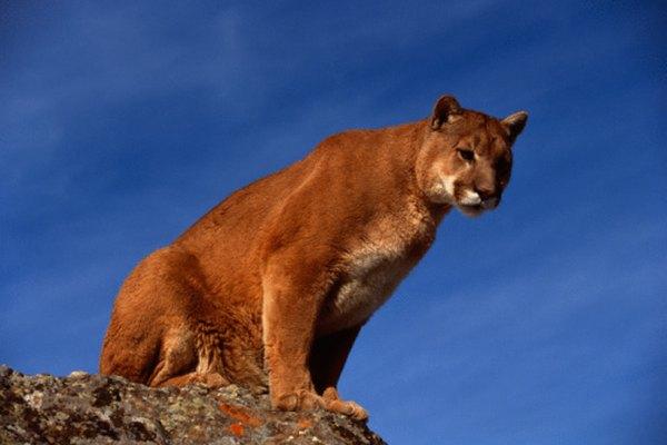 Los pumas también son conocidos como leones de montaña, leones o panteras.