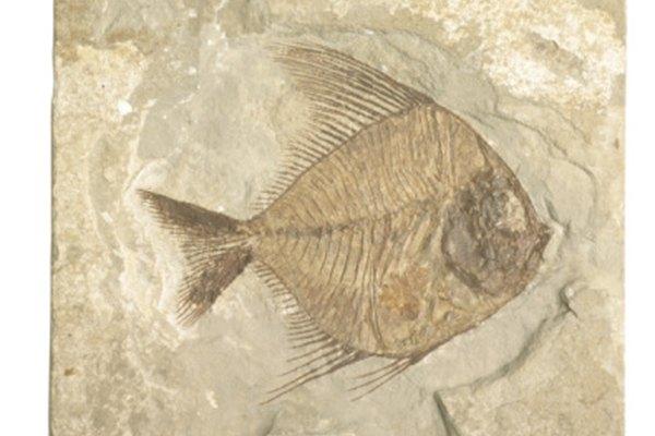 Los paleontólogos de vertebrados estudian los peces y otros animales prehistóricos.