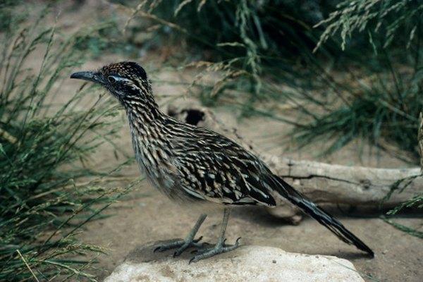 El correcaminos es también conocido como el matador de serpientes, ave medicinal y paisano.