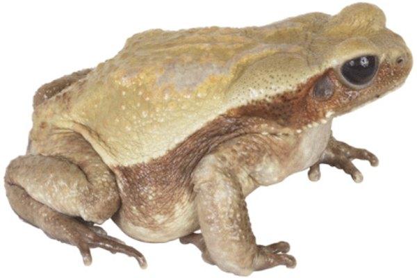 Las ranas cubren grandas distancias al migrar.