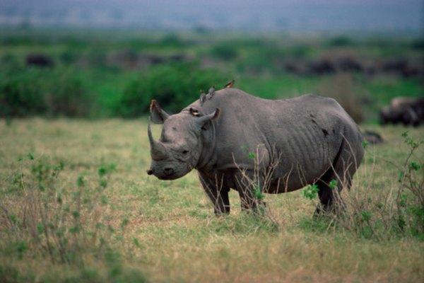 Un rinoceronte hospeda un picabueyes.