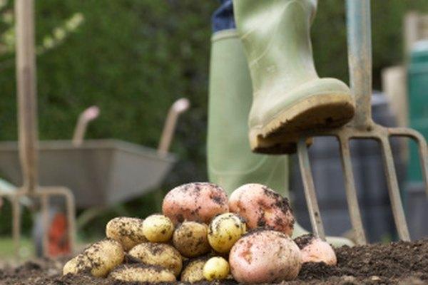 Cultivar patatas frescas puede ser un pasatiempo durante todo el año.