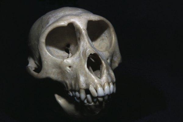Aproximadamente fósiles de 300 Autralopithecus se han encontrado hasta la fecha.