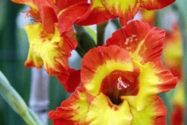 Los gladiolos vienen en tonos mezclados del arco iris.