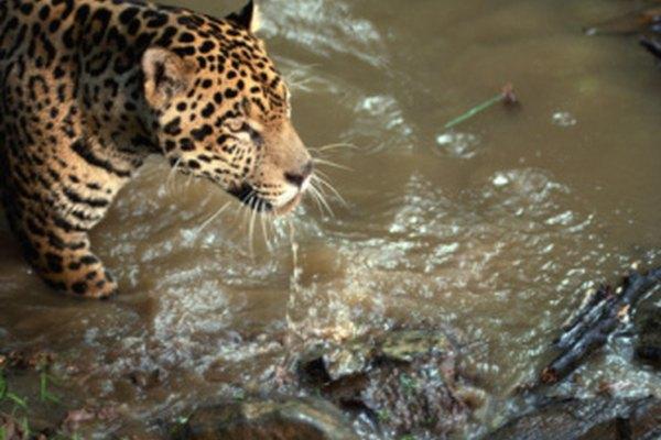 El jaguar es el segundo depredador de la selva.