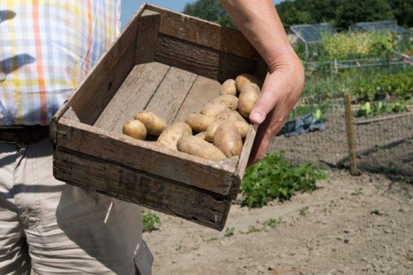 Las patatas son sencillas de cultivar y emergen rápidamente del suelo en el jardín del hogar.