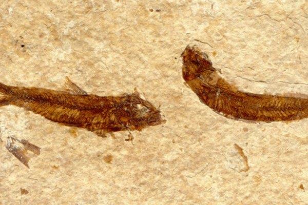 Los animales pequeños o conchas hacen grandes moldes de fósiles.