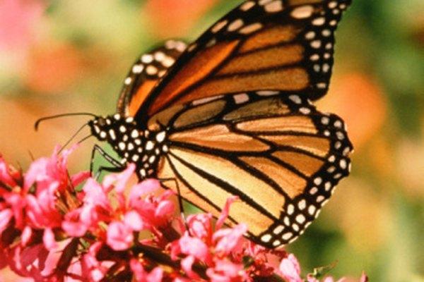 Debes estudiar a muchas mariposas por un largo periodo de tiempo antes de saber la diferencia entre machos y hembras.