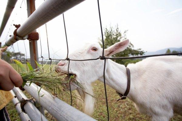 Decide qué tipo de cabra quieres que tu disfraz represente.