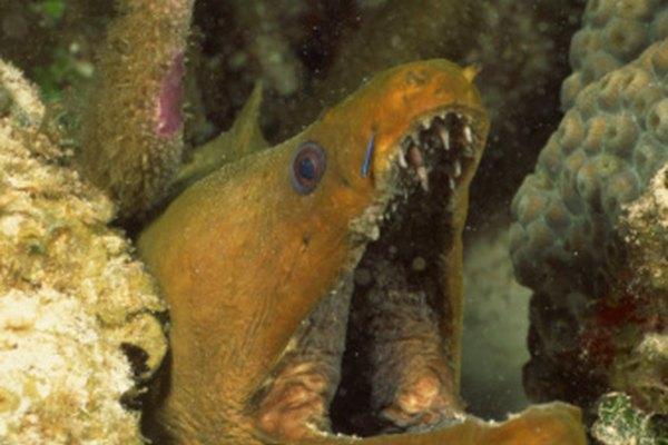 Las anguilas eléctricas producen hasta 600 voltios de electricidad.