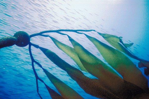 El kelp habita nuestro océano y es uno de sus principales productores.