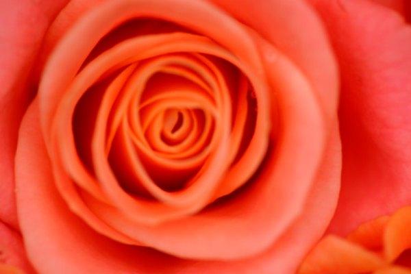 La rosa contiene mensajes geométricos dentro de sus pétalos.