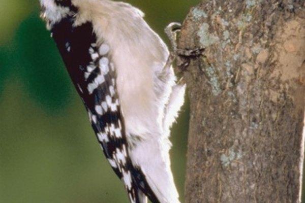 Los pájaros carpinteros se comen las larvas en la corteza del árbol.