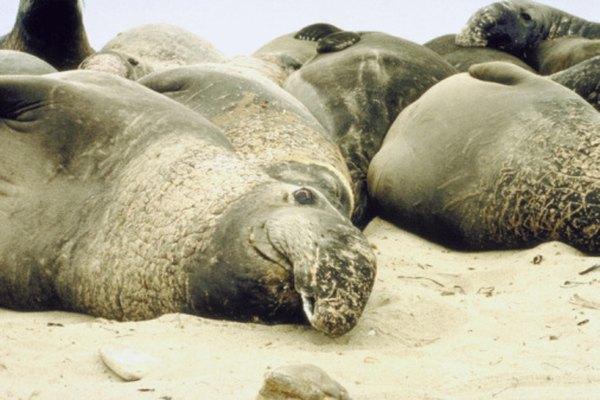 El elefante marino, al igual que el cachalote, es un campeón en el buceo.