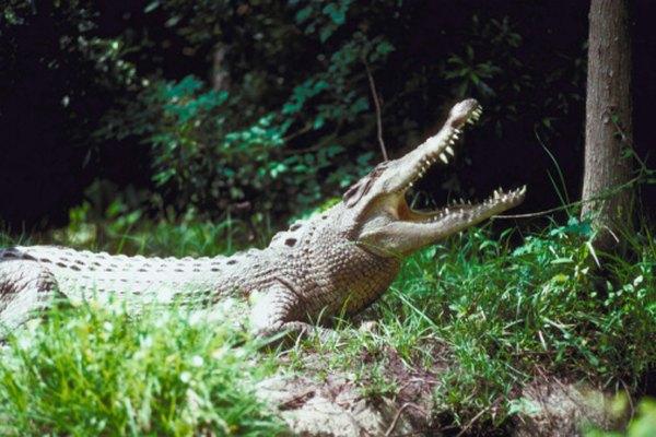 Los cocodrilos de agua salada se localizan en Australia y Asia.