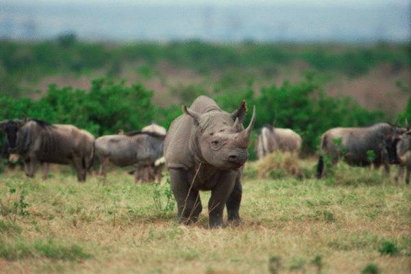 Aunque típicamente individualista, los rinocerontes también pueden formar asociaciones sueltas.